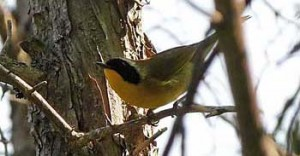 CommonYellowThroatJun350