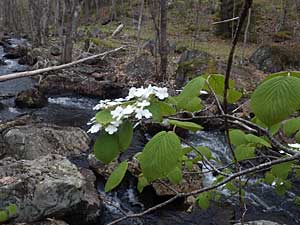 Hobblebush by outflow from Williams Lake, May 24, 2014