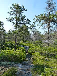Jack Pine/Broom Crowberry