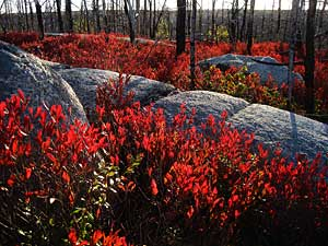 "Red Huckleberry Bushes Near ""Gord's Gold"" (Photo: Geoffrey Grantham)"
